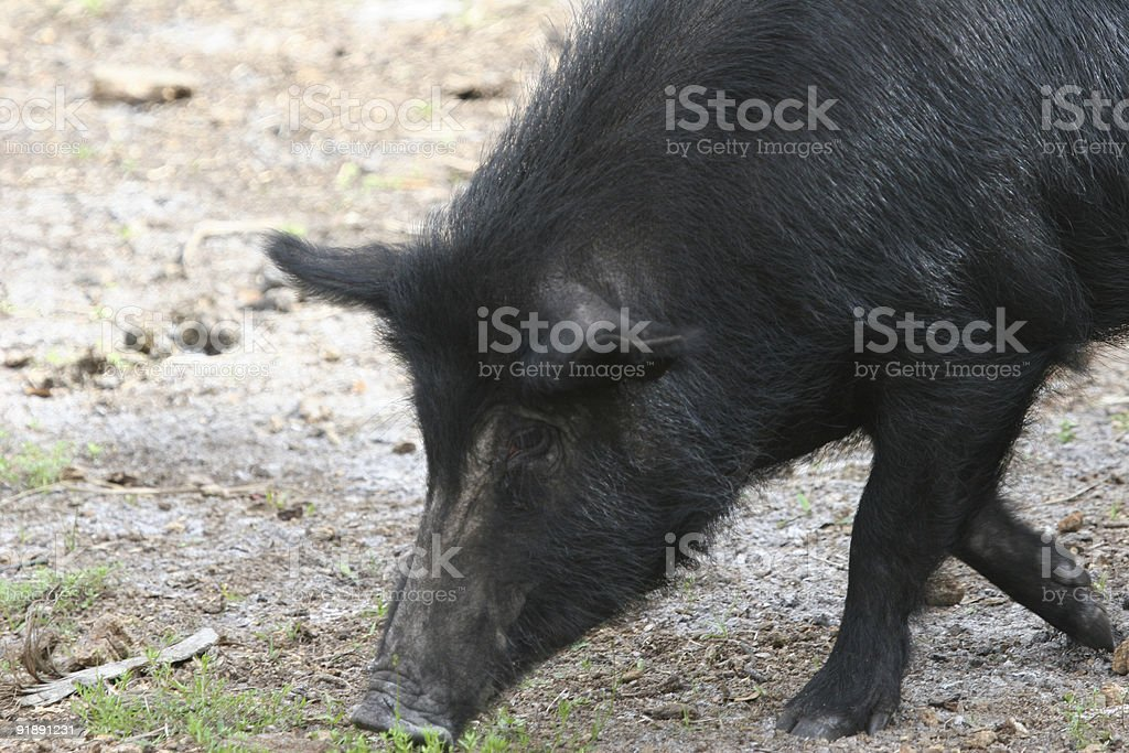 Wild Pig royalty-free stock photo