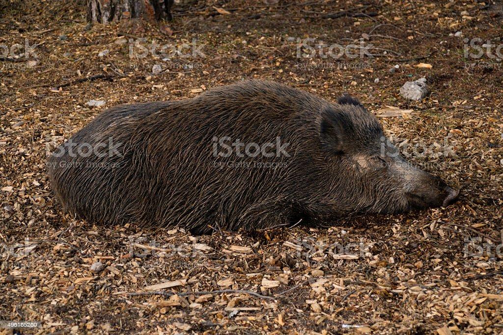 wild pig sleeping stock photo