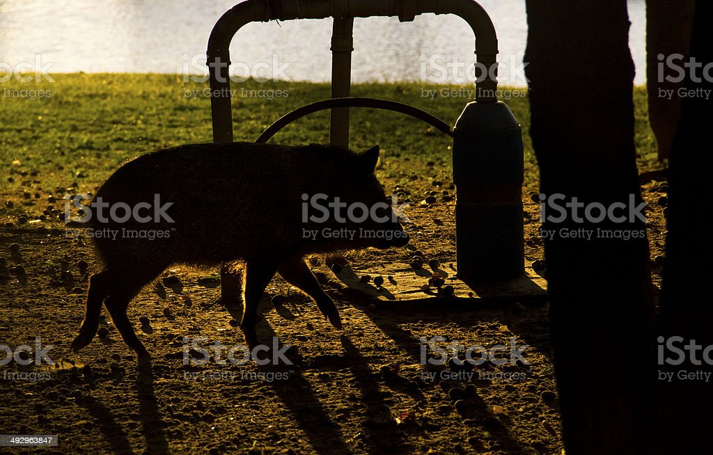 Wild Pig Walking at Sunrise stock photo