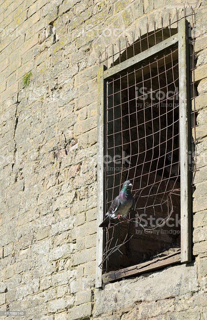 Wild pigeon coop stock photo