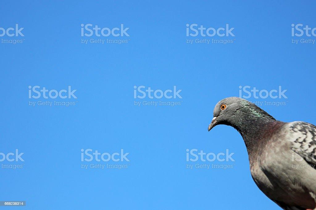 Wild Pigeons stock photo