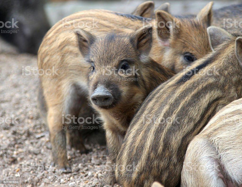 wild piglets stock photo