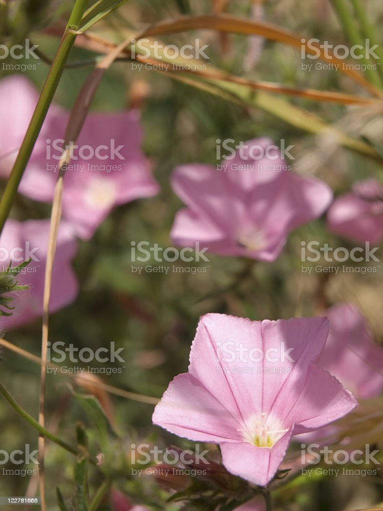Wild pink bellflower in the meadow royalty-free stock photo
