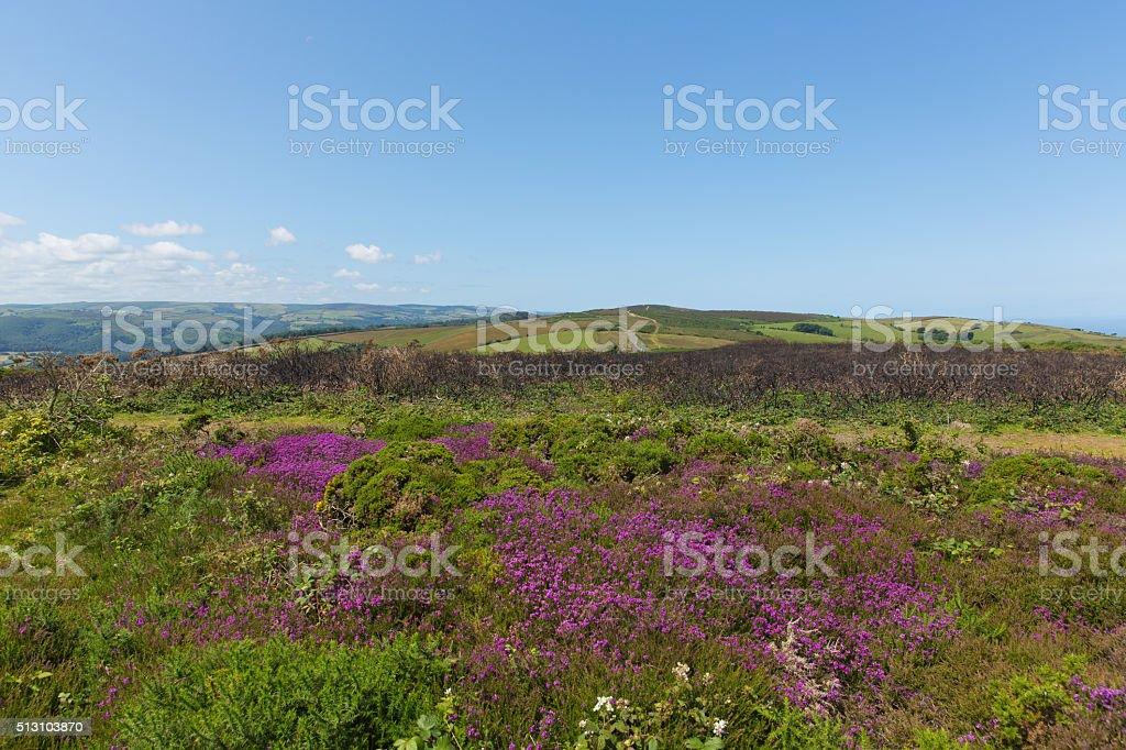 Wild pink flowers North Hill Somerset countryside scene near Minehead stock photo