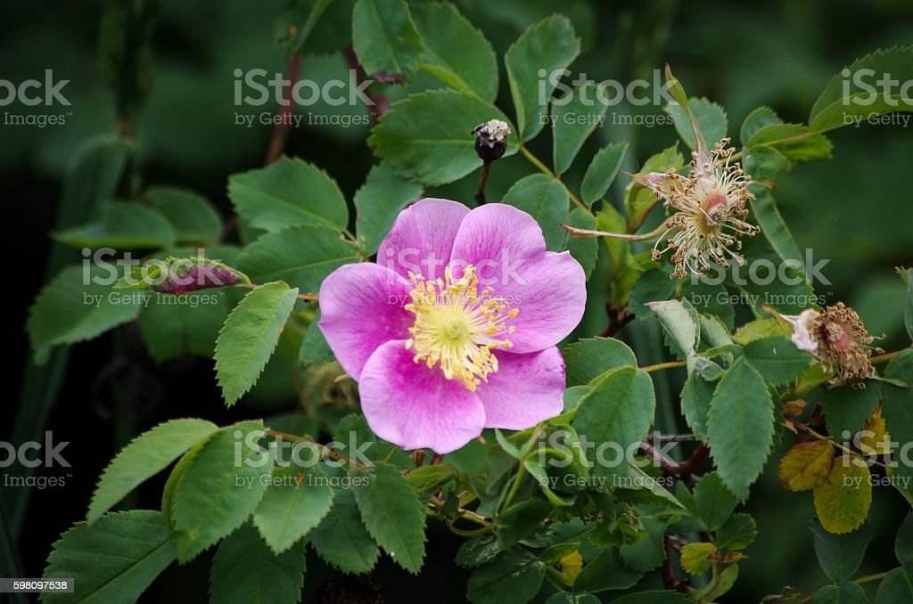 Wild Pink Rose Bush stock photo