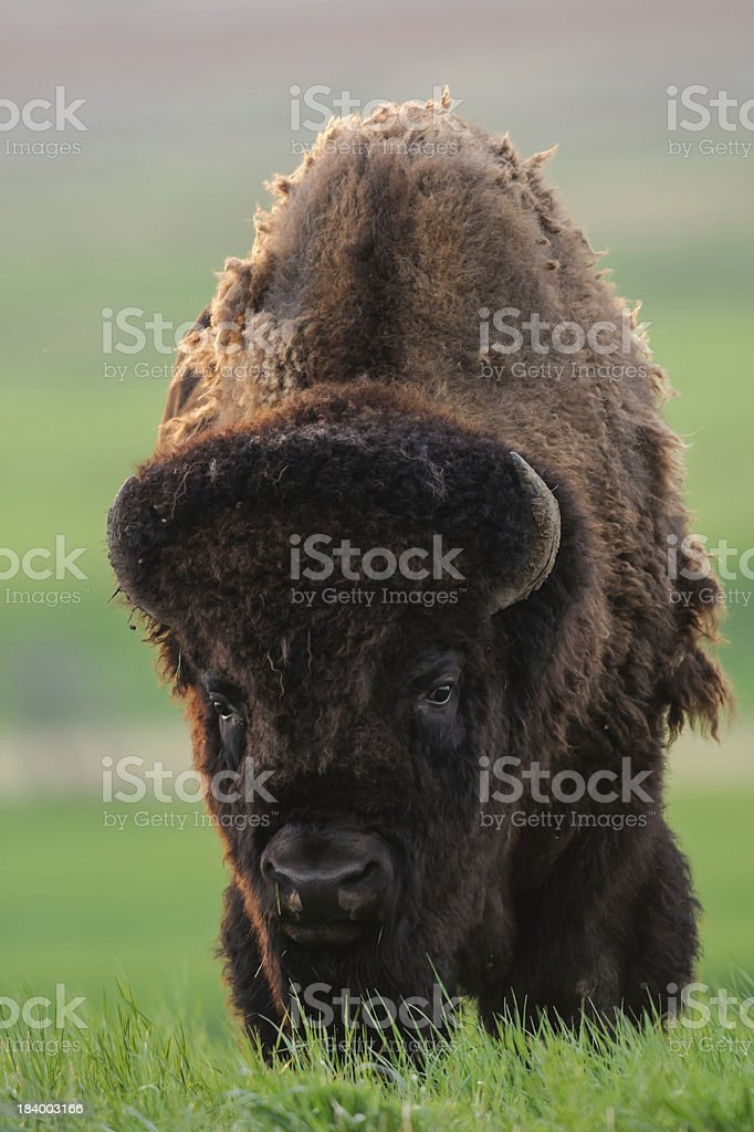 Wild Plains Bison royalty-free stock photo