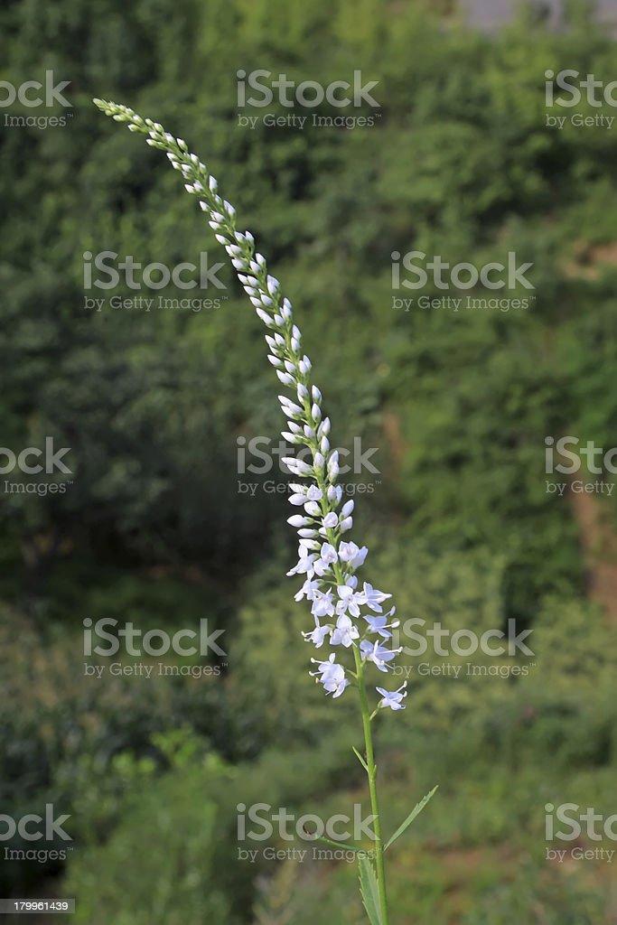 wild plant flowers royalty-free stock photo