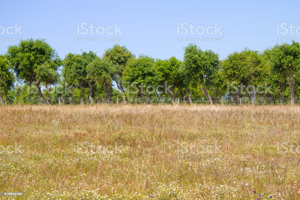 Wild plants, flowers and Cork tree in Porto Covo stock photo