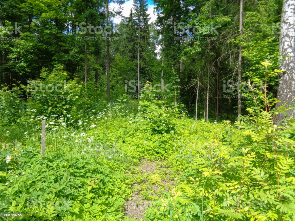 Wild plants. Flowers and trees in the forest in summer. Flora of Northern Hemisphere in June stock photo