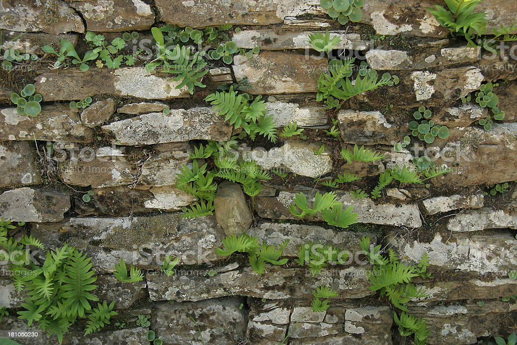 Wild Plants Growing and Thriving In Stone Wall royalty-free stock photo
