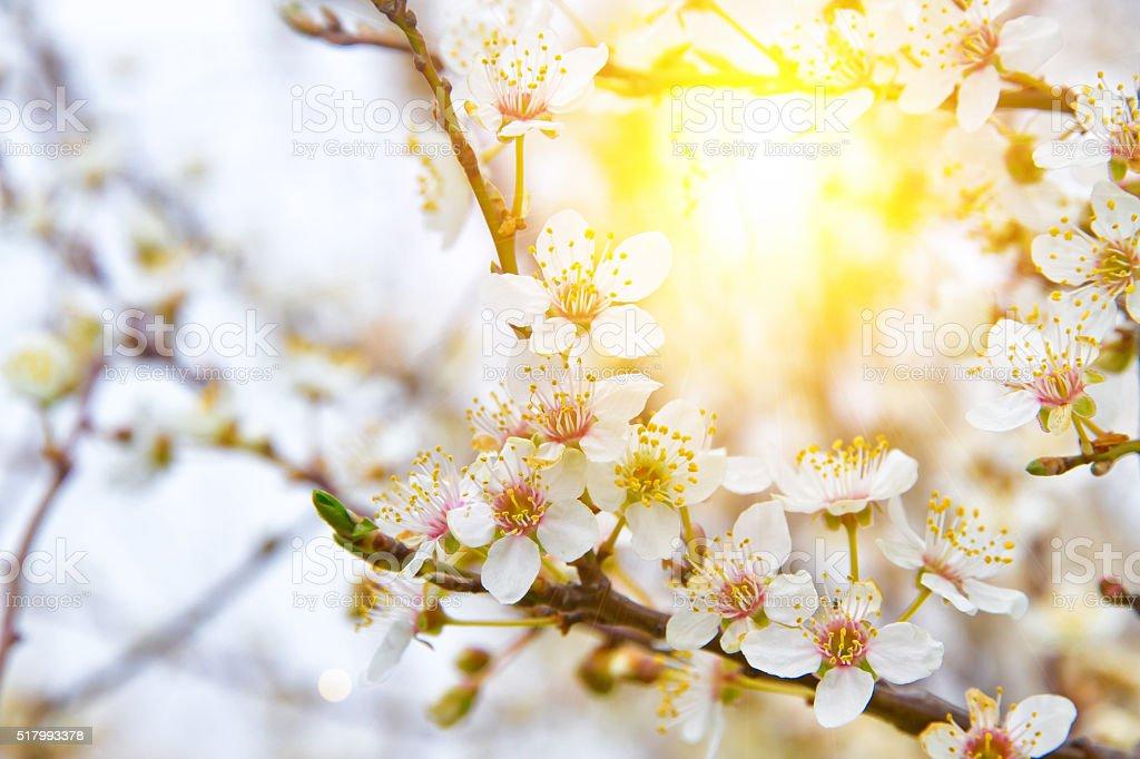Wild plum tree in the sun stock photo