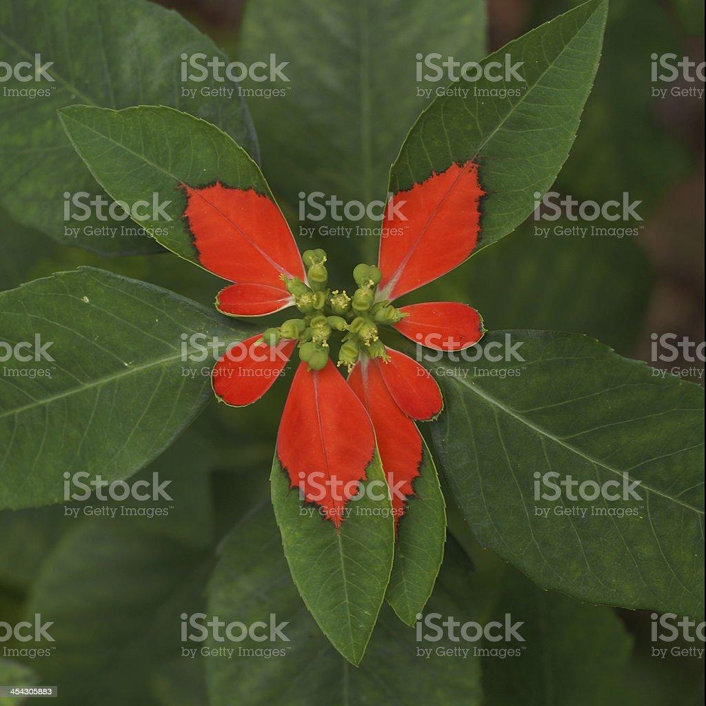 Wild Poinsettia Centered royalty-free stock photo