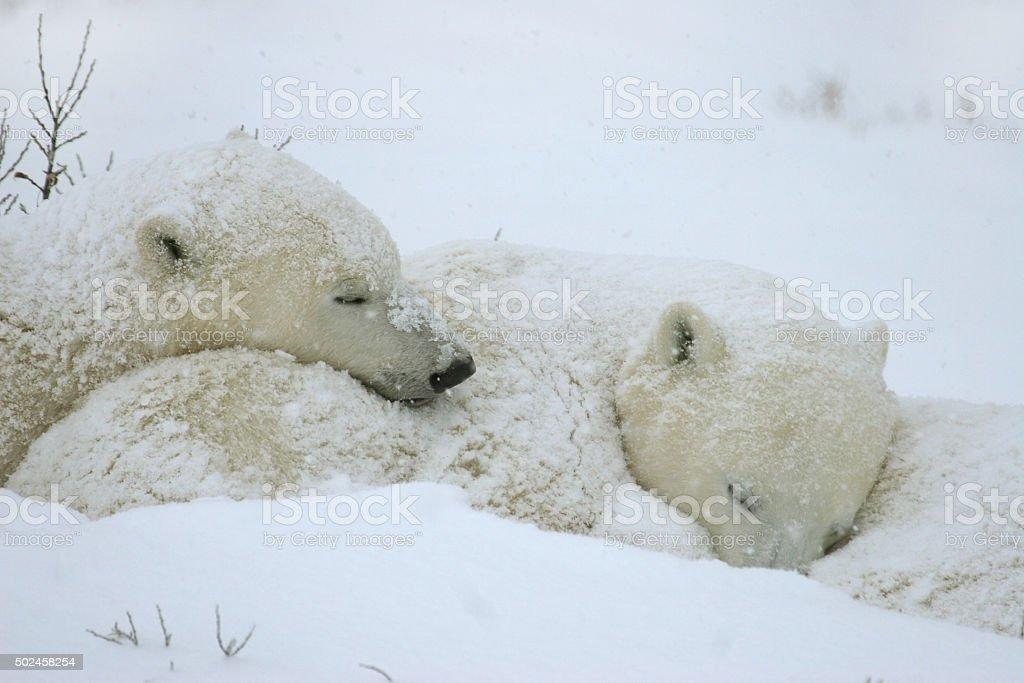 Polar bear cubs sleep next to their mother during a snow storm. The...