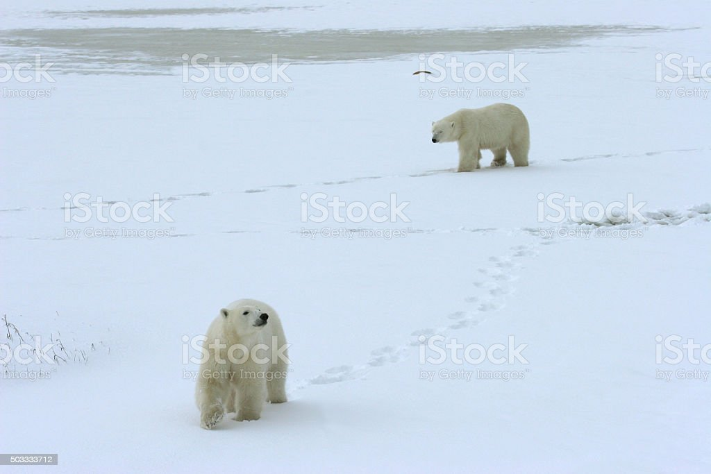 Wild polar bear mother cub walking Hudson Bay powder snow stock photo