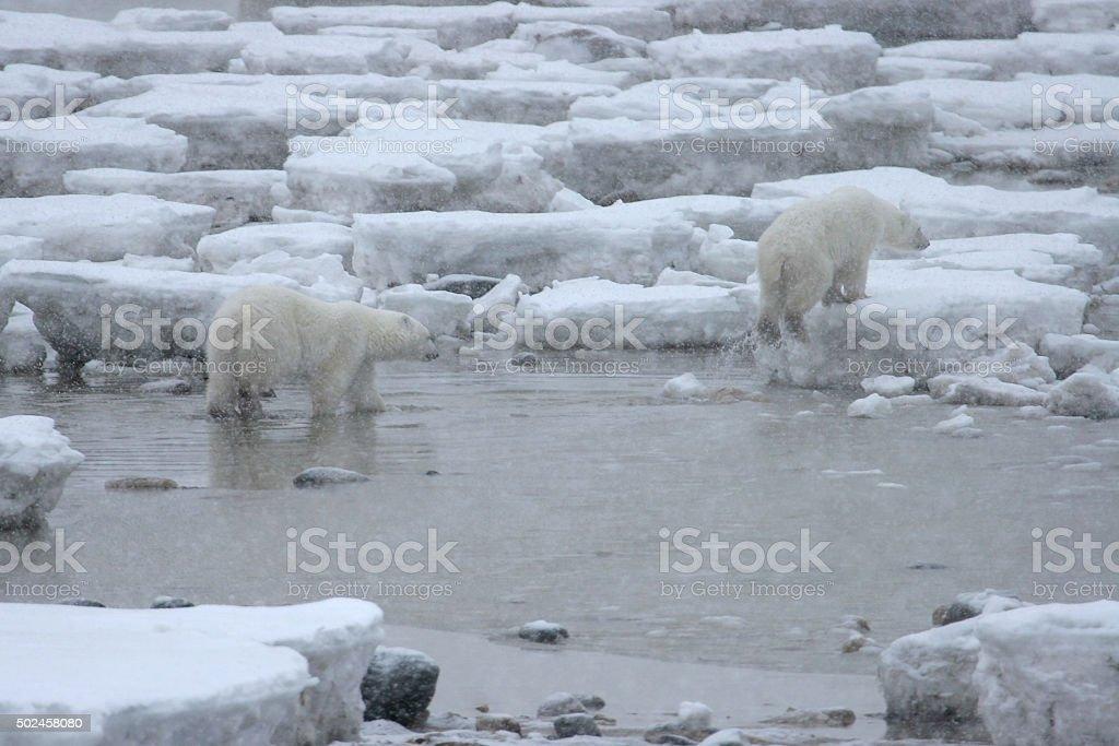 Wild polar bear pair walk broken ice Hudson Bay Manitoba stock photo