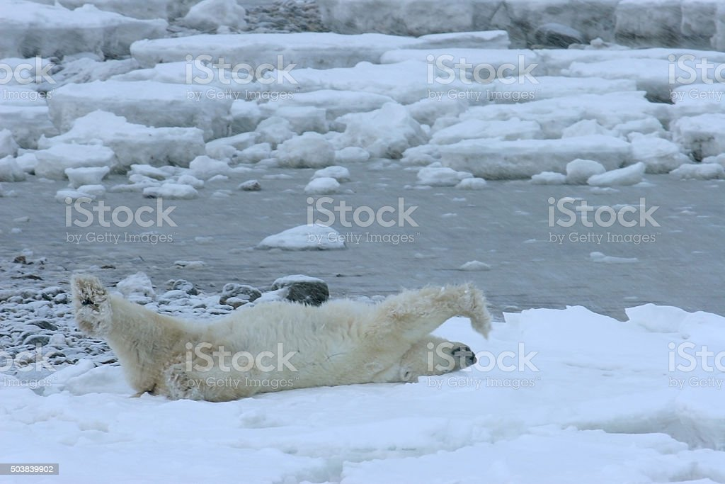 Wild polar bear waiting for Hudson Bay to freeze Manitoba stock photo