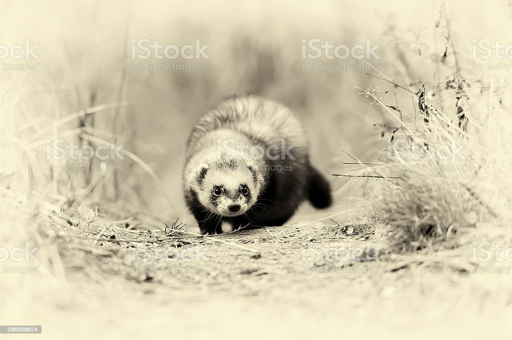 Wild polecat in forest. Vintage effect stock photo