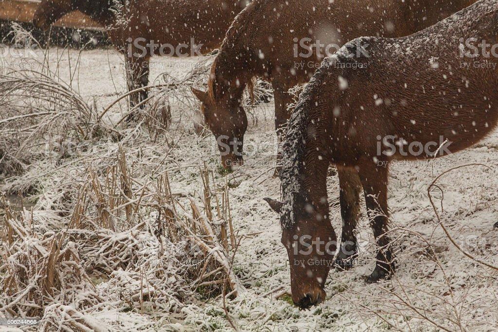 Wild Ponies Grazing in Snow stock photo