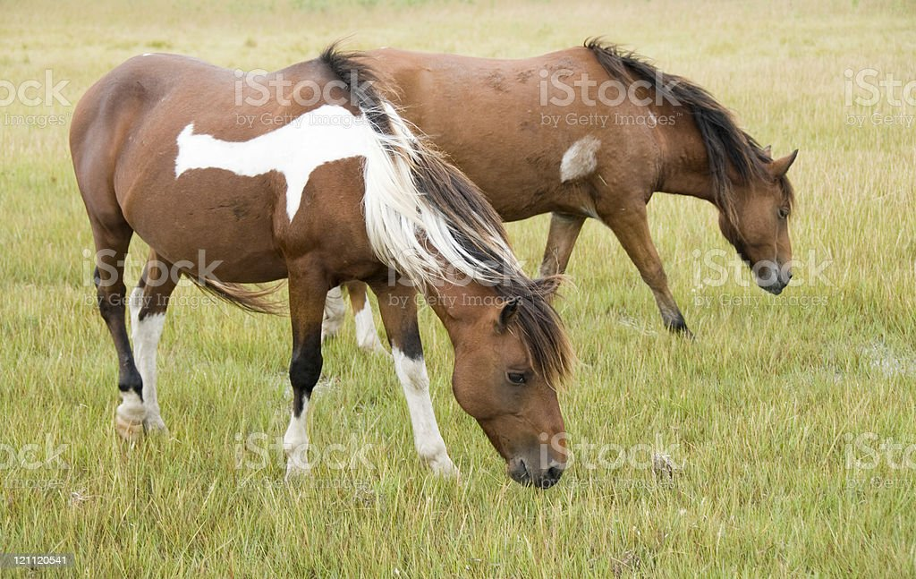 Wild Ponies Grazing stock photo