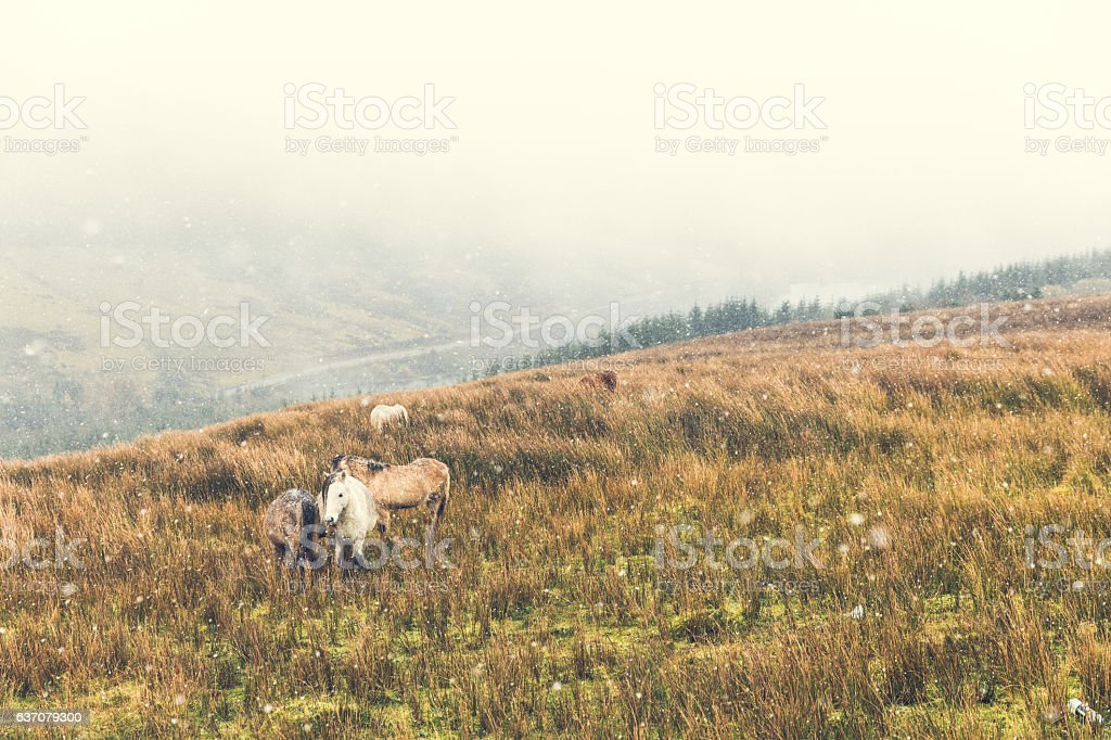 Wild ponies in the countryside during snow storm stock photo
