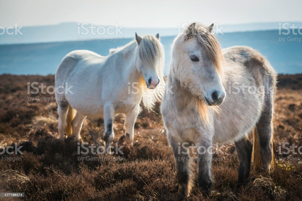 Wild ponies on heathery mountain moorland Brecon Beacons National Park stock photo
