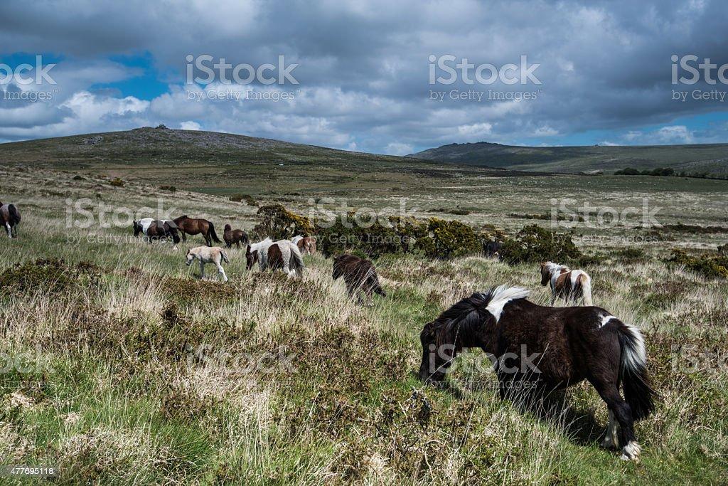 Wild ponny horse grazing in moor land stock photo