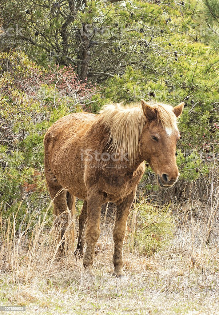Wild Pony Assateague Island Maryland Beach Photography Seascape stock photo