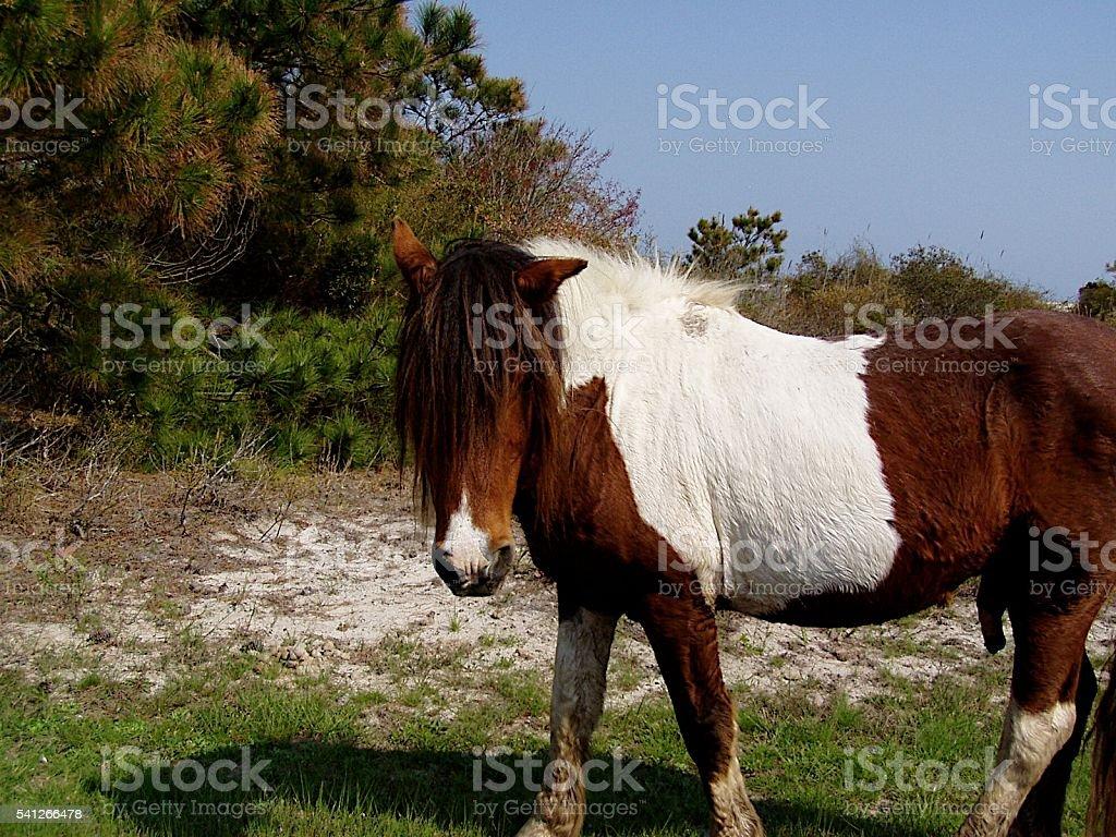 Wild Pony Assateague Island stock photo