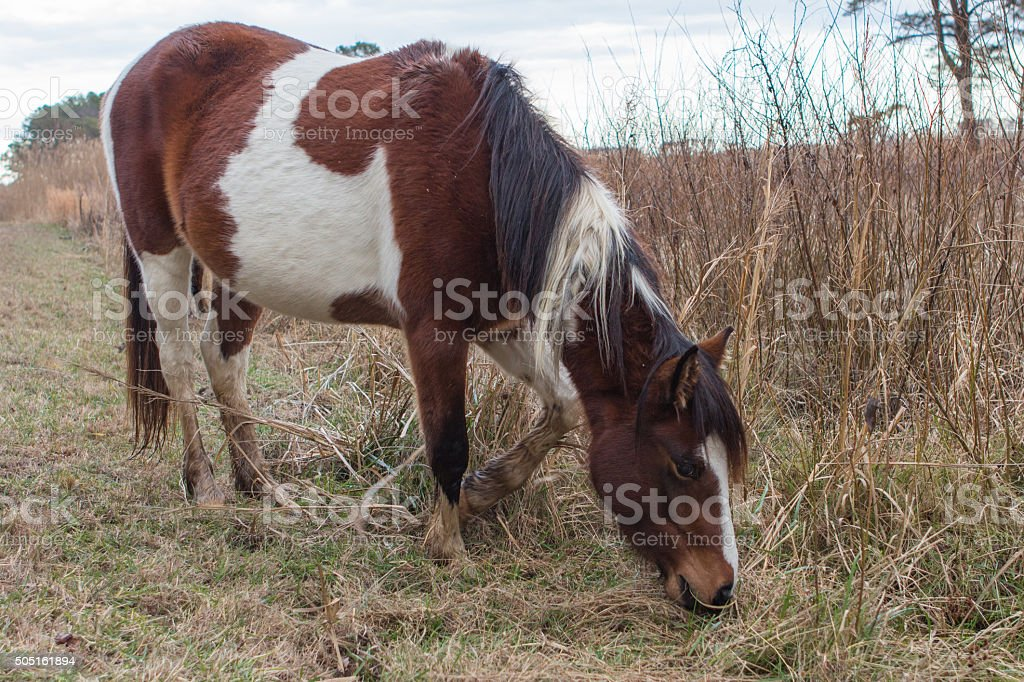 Wild Pony Grazing stock photo