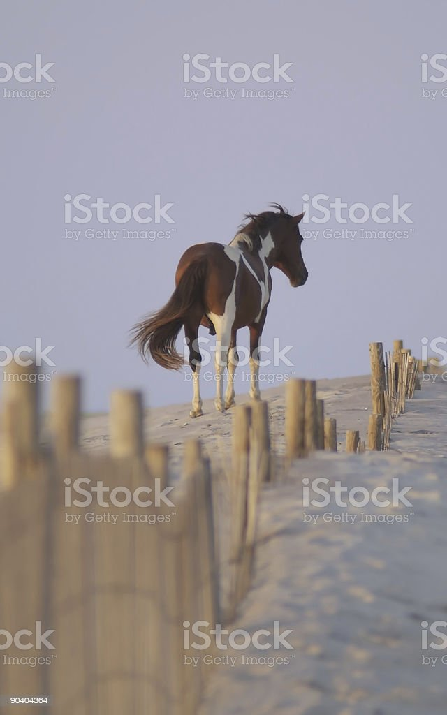 Wild Pony of Assateague Island stock photo