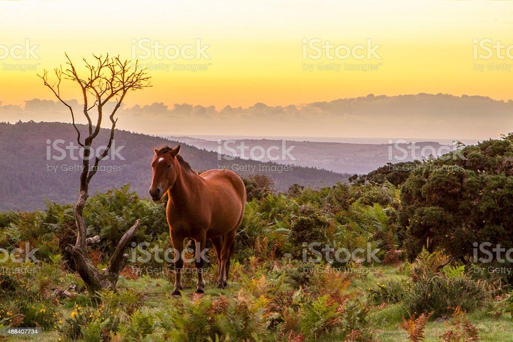 Wild pony on moors at sunrise stock photo