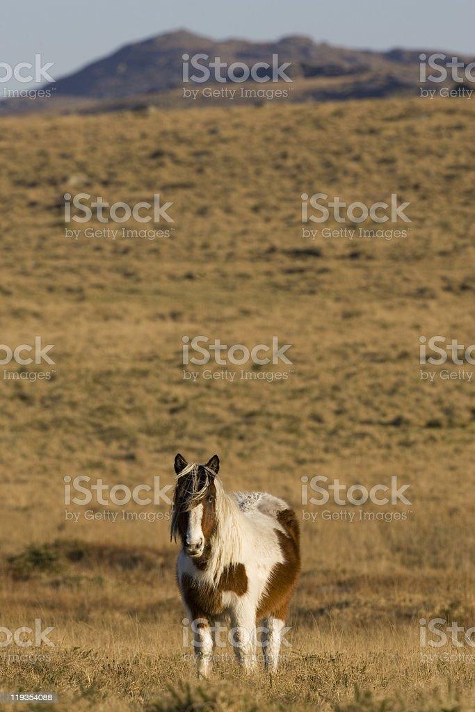 Wild Pony (Equus caballus) stock photo