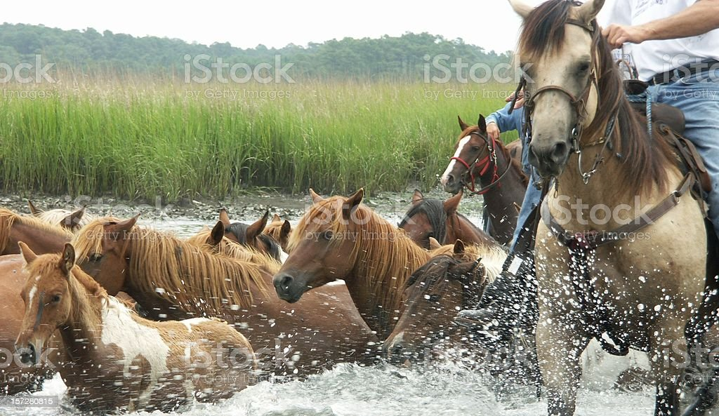 Wild Pony Swim stock photo