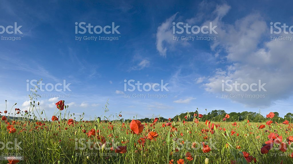 Wild poppies, blue sky royalty-free stock photo