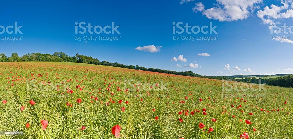 Wild poppies in biofuel crop field royalty-free stock photo