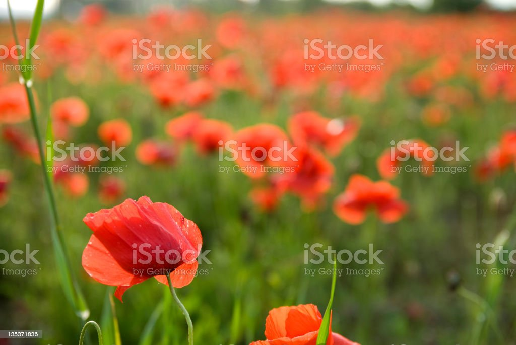 wild poppies in the Wind, spring time royalty-free stock photo