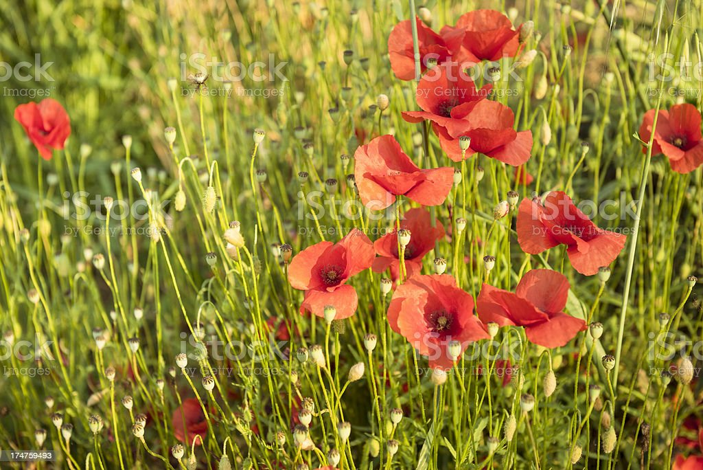 wild poppies on the nature royalty-free stock photo