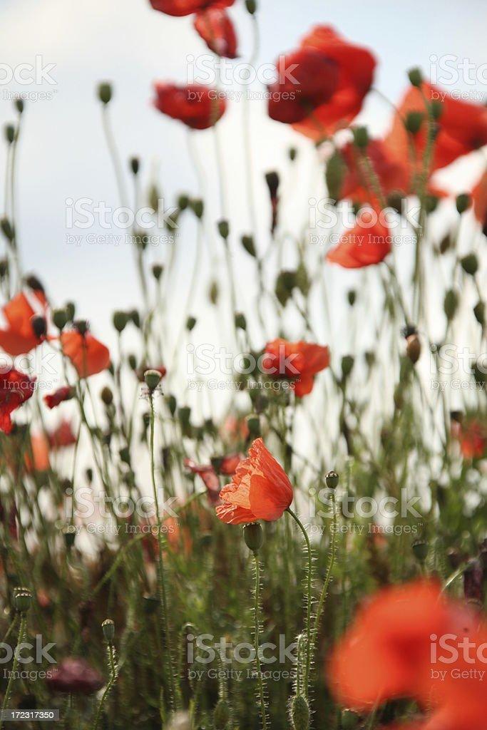 wild poppies royalty-free stock photo