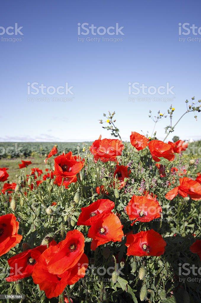 Wild Poppies (XL) royalty-free stock photo