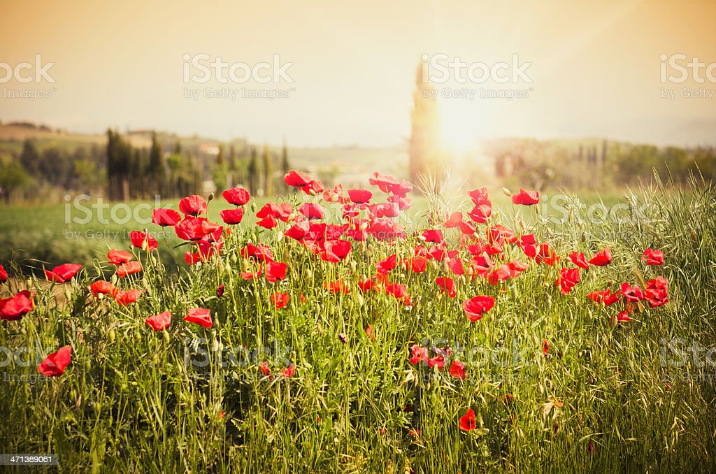Wild poppies spring grass landascape on Tuscany royalty-free stock photo
