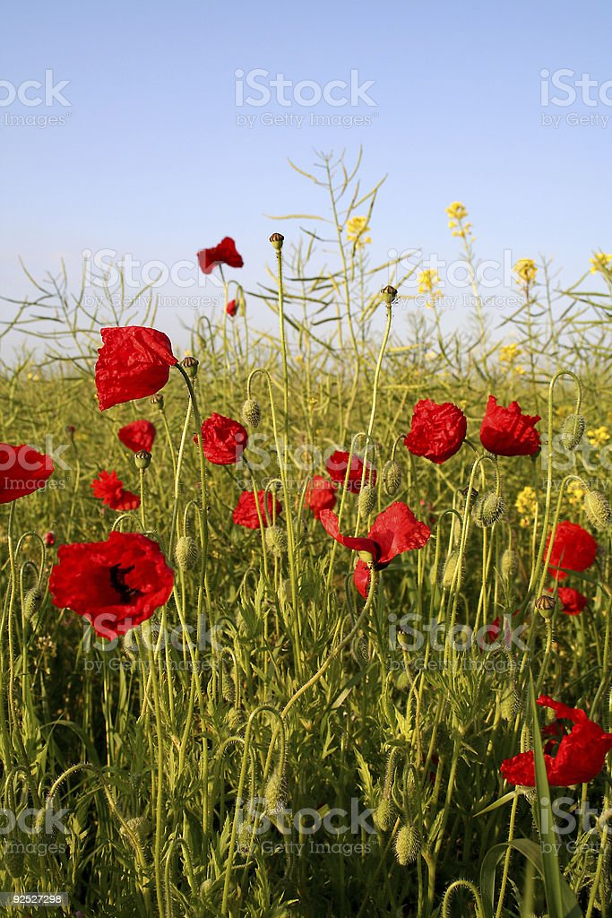 Wild poppy field in the English countryside royalty-free stock photo
