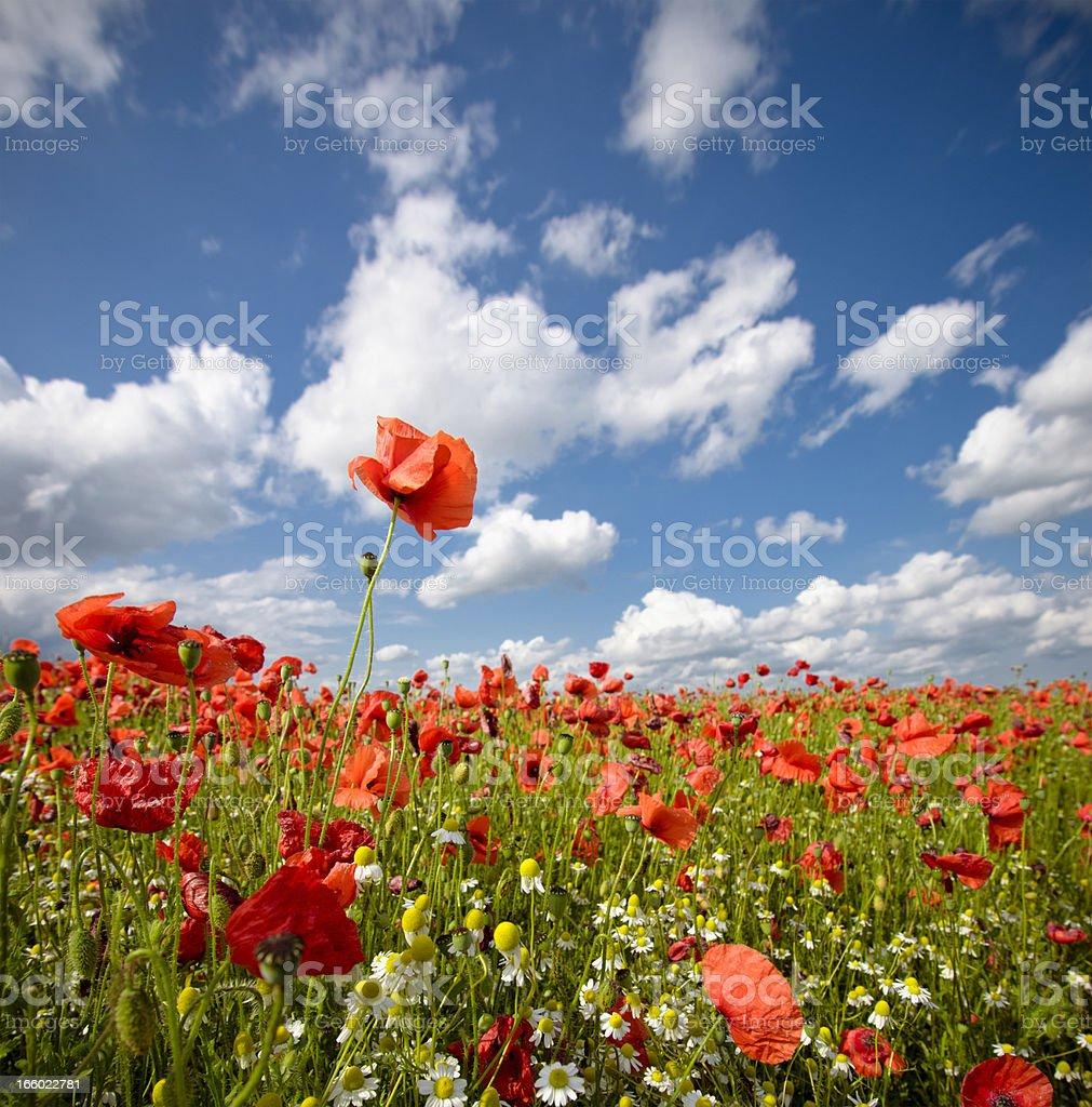 Wild Poppy Field stock photo