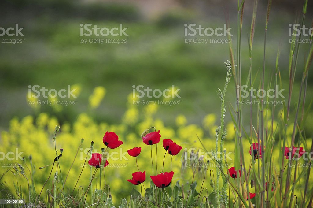 Wild Poppy flower at nature royalty-free stock photo