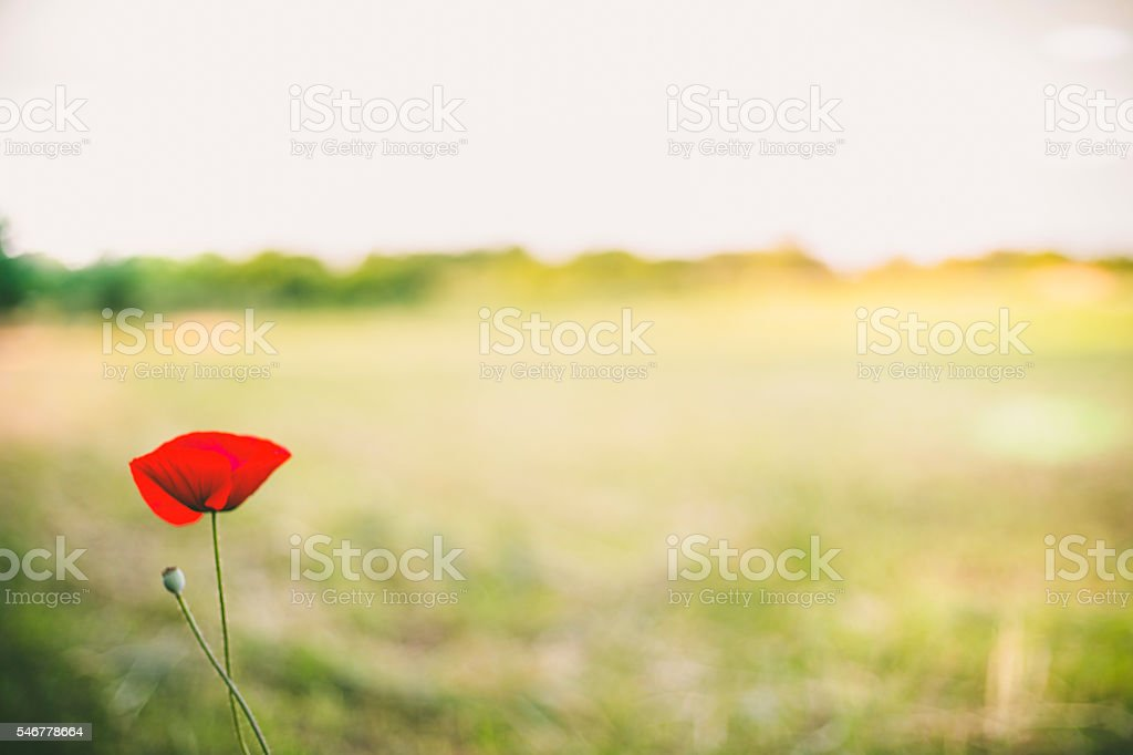 wild poppy flower on field stock photo