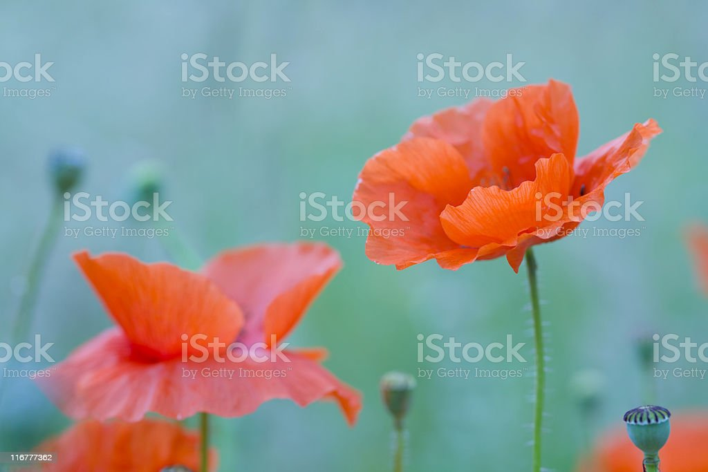 wild poppy flower royalty-free stock photo