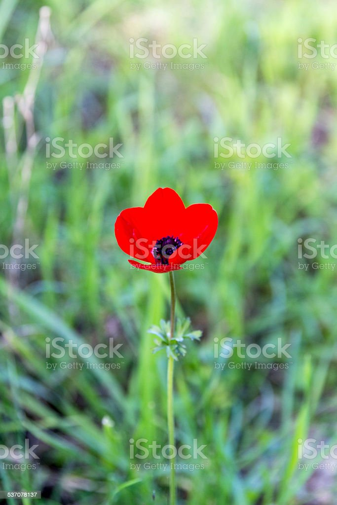 Wild poppy flower . stock photo
