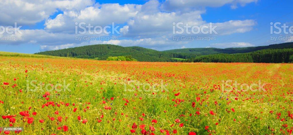 Wild poppy flowers on blue sky background stock photo