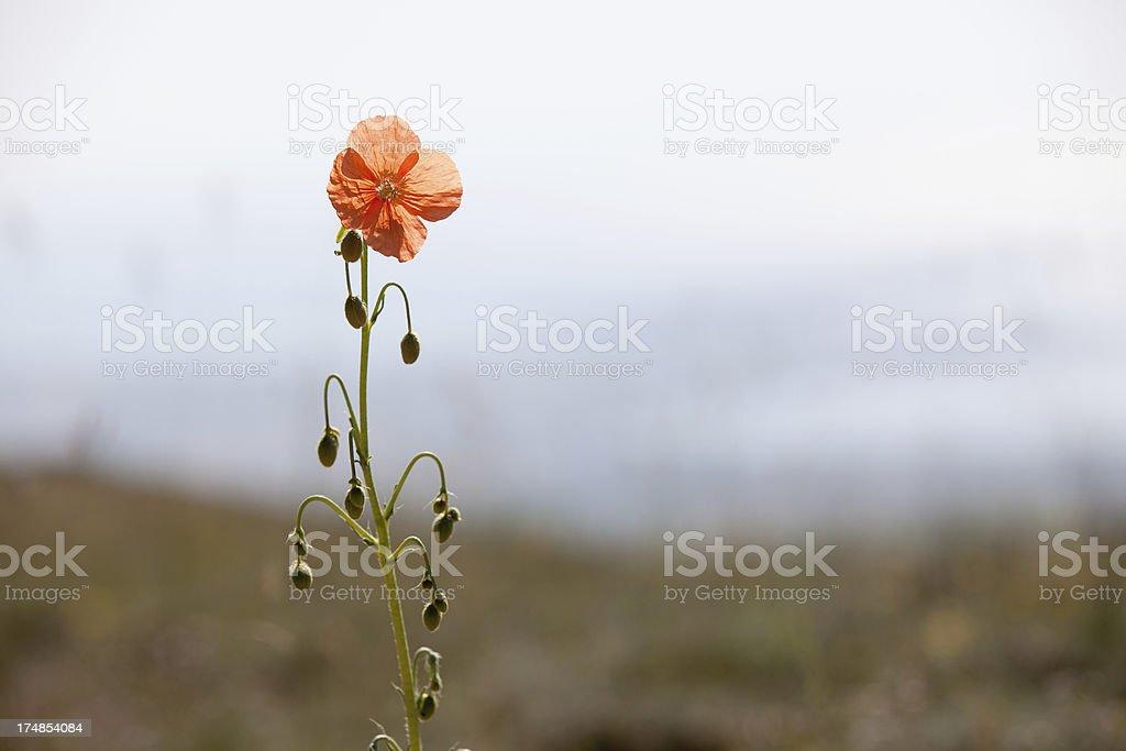 Wild Poppy royalty-free stock photo