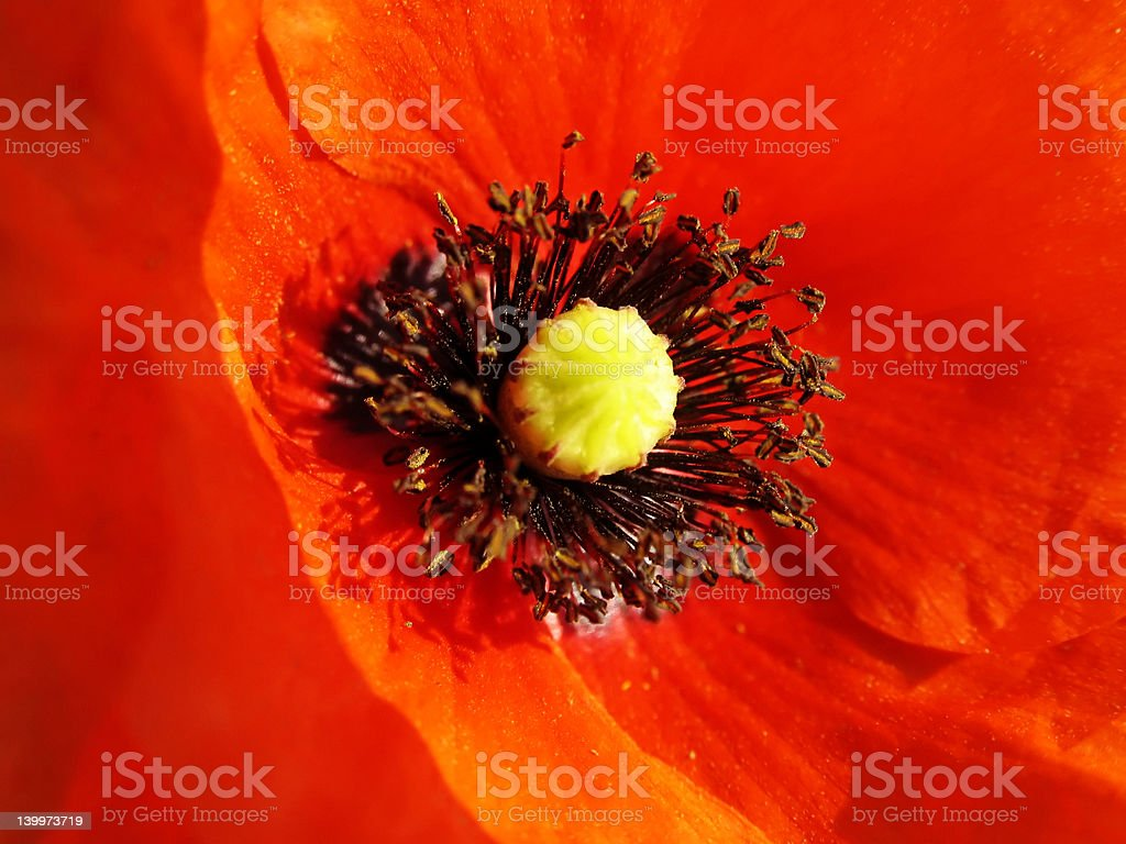 Wild poppy portrait royalty-free stock photo