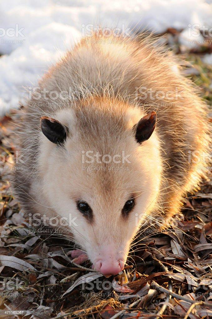Wild Possum in the Setting Sun stock photo